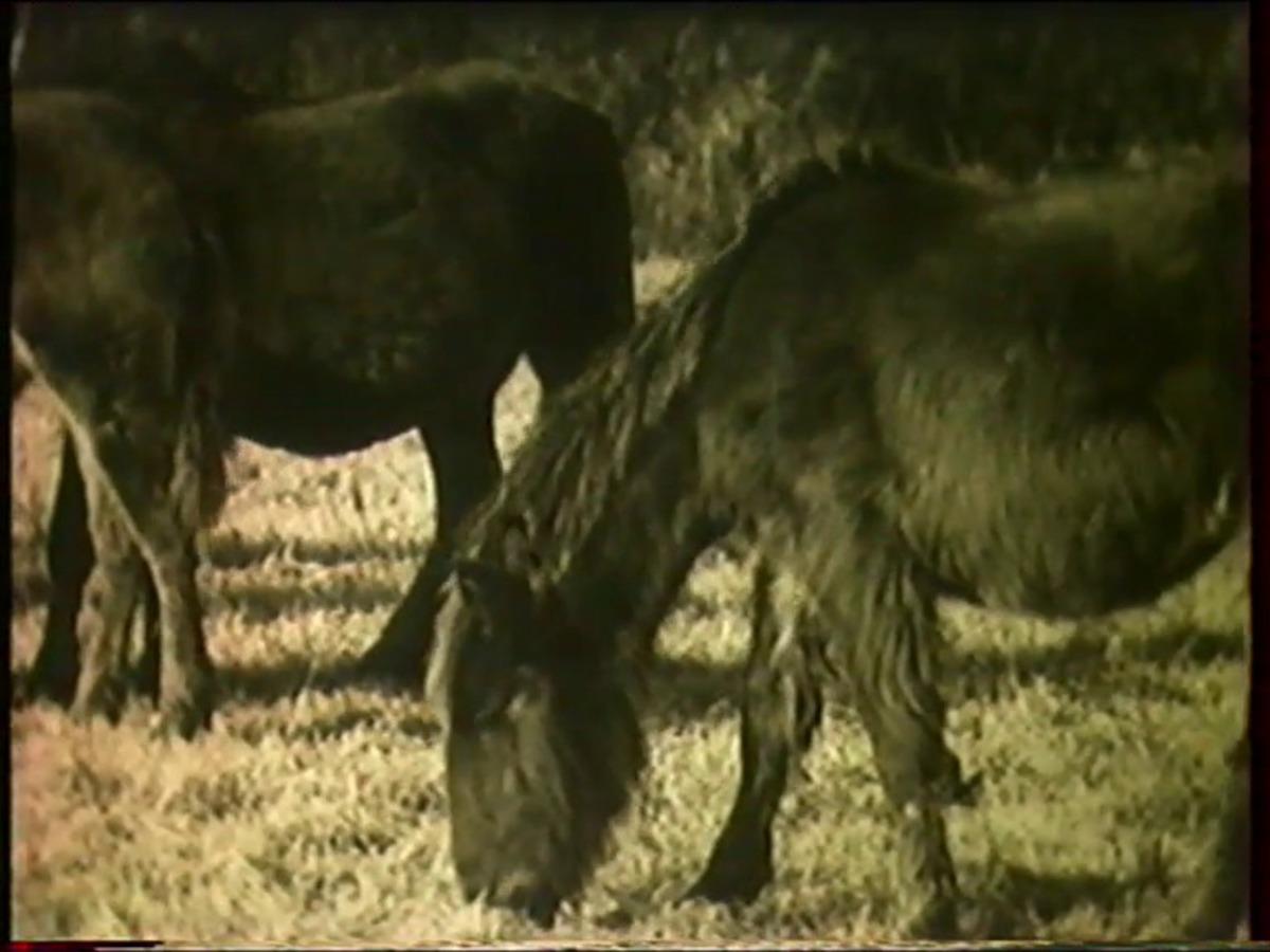 Les chevaux du Vercors