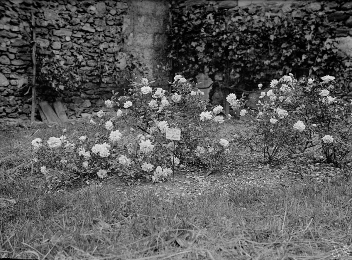 """Massif de roses """"Mme Marie Aristide Bergès"""" Photographie"""